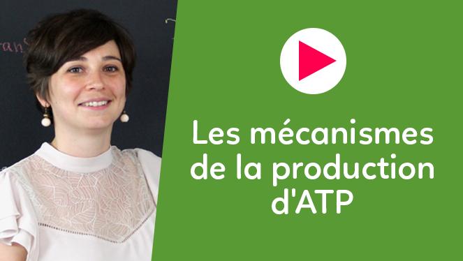 Les mécanismes de la production d'ATP