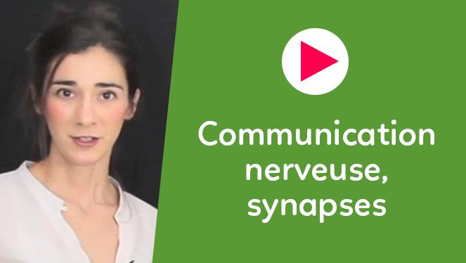 Communication nerveuse, synapses